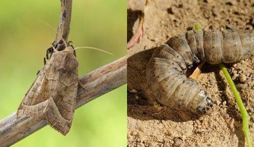 как выглядит бабочка и гусеница картофельной софки