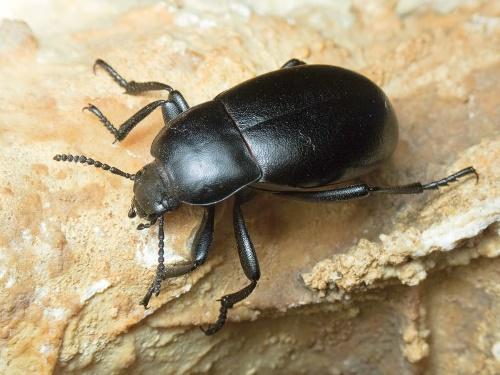 как выглядит жук чернотелка огородная