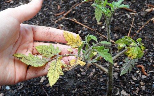 у томатов пожелтели листья, что делать?