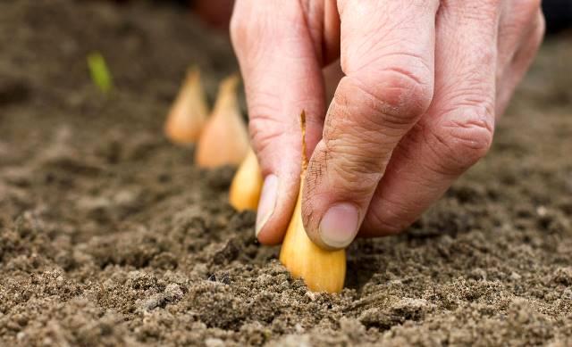 Есть ли смысл подкармливать лук во время посадки или формирования луковицы?