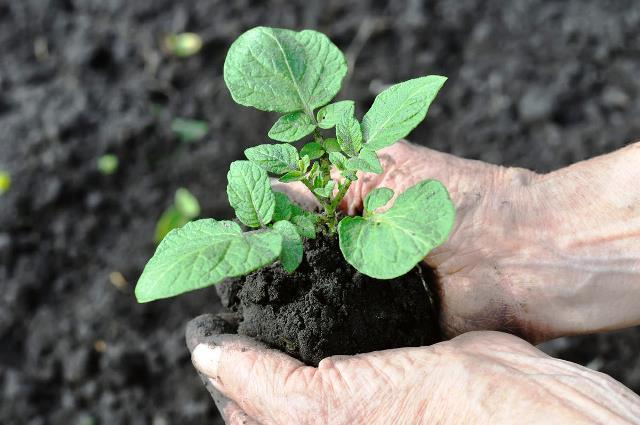 Пересаживаем рассаду картофеля в открытый грунт