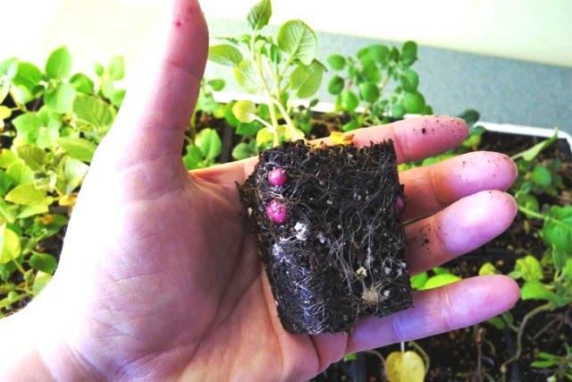 Выращиваем рассаду молодого картофеля