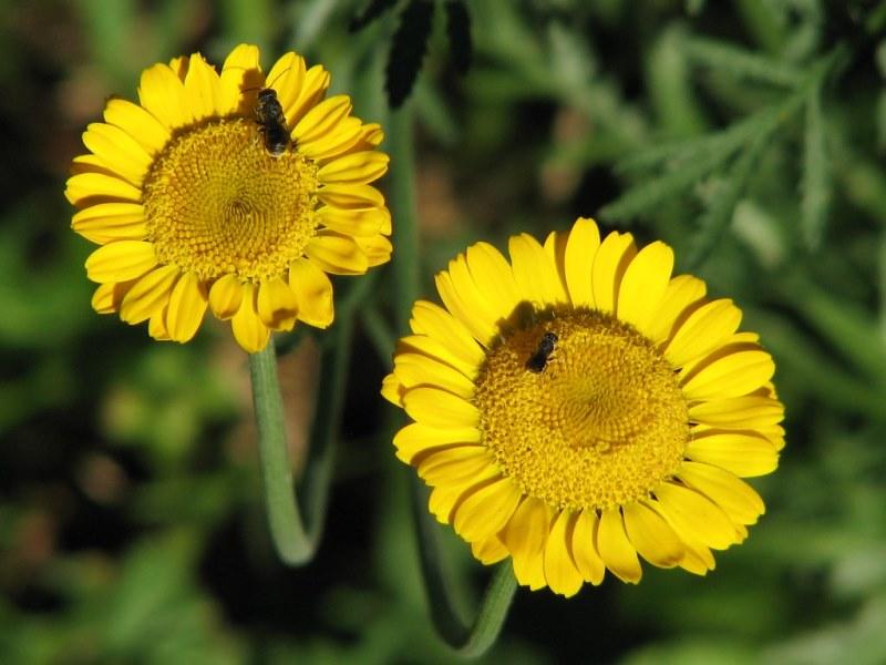 Фото растения Антемис