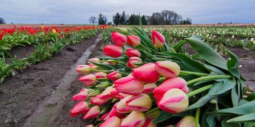 срезанные тюльпаны на поле