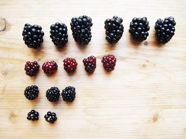 различные размеры ягод ежевики