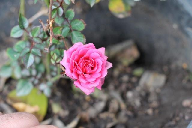 фото мини розы