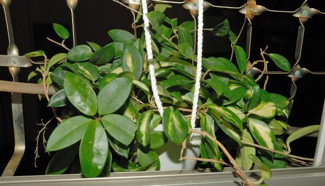 Плющ восковой (Hoya carnosa)