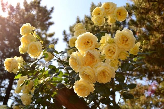 желтые розы тантау