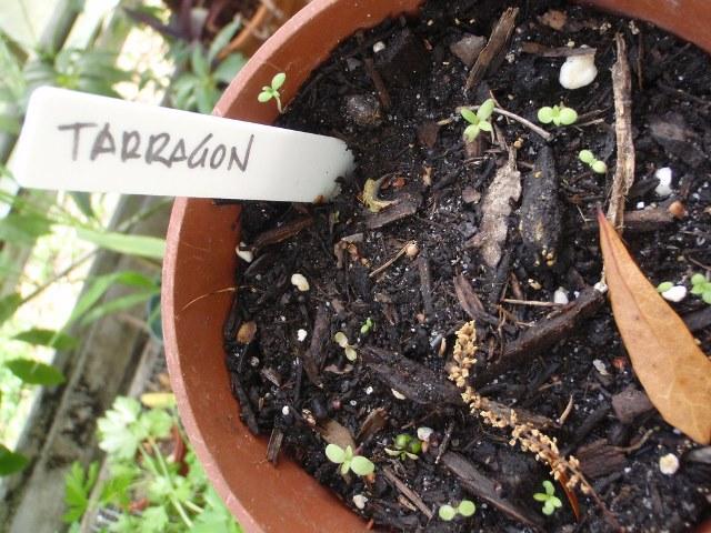 пряное растение эстрагон