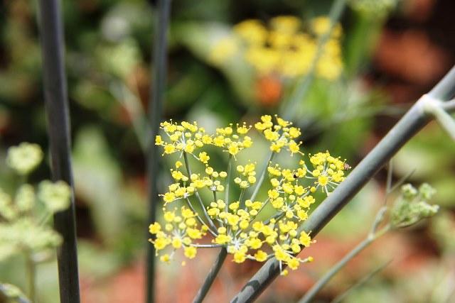 выращивание растения фенхель