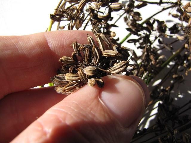 заготовка семян фенхеля для посадки