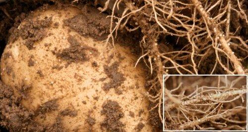 картофельные нематоды уничтожают урожай