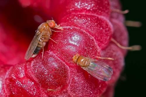 фото вредителя Малинная стеблевая муха