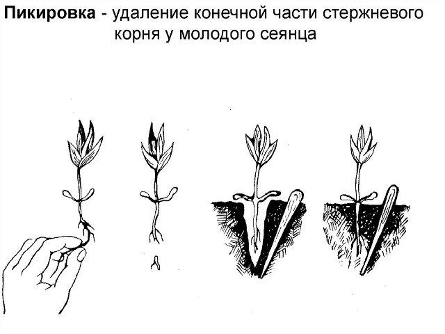 отщипывание корня томата при пикировке