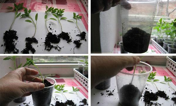 пикировка рассады томатов в пластиковые стаканчики