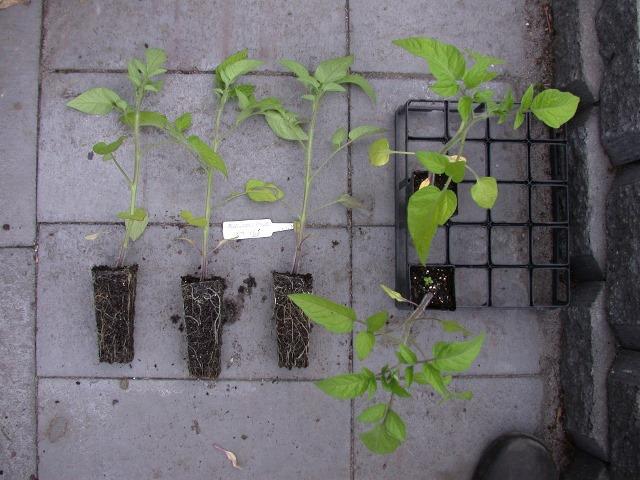 как ухаживать за томатами в открытом грунте
