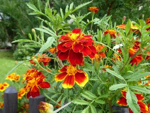 выращивание цветущих бархатцев