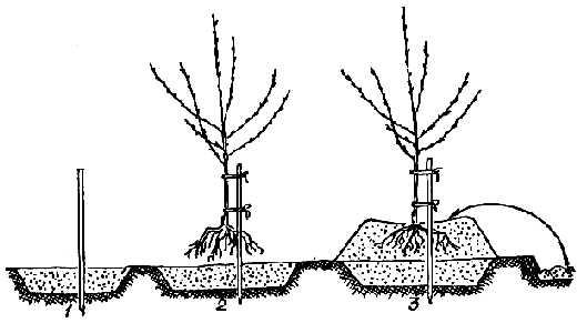 способ посадки яблонь на холм